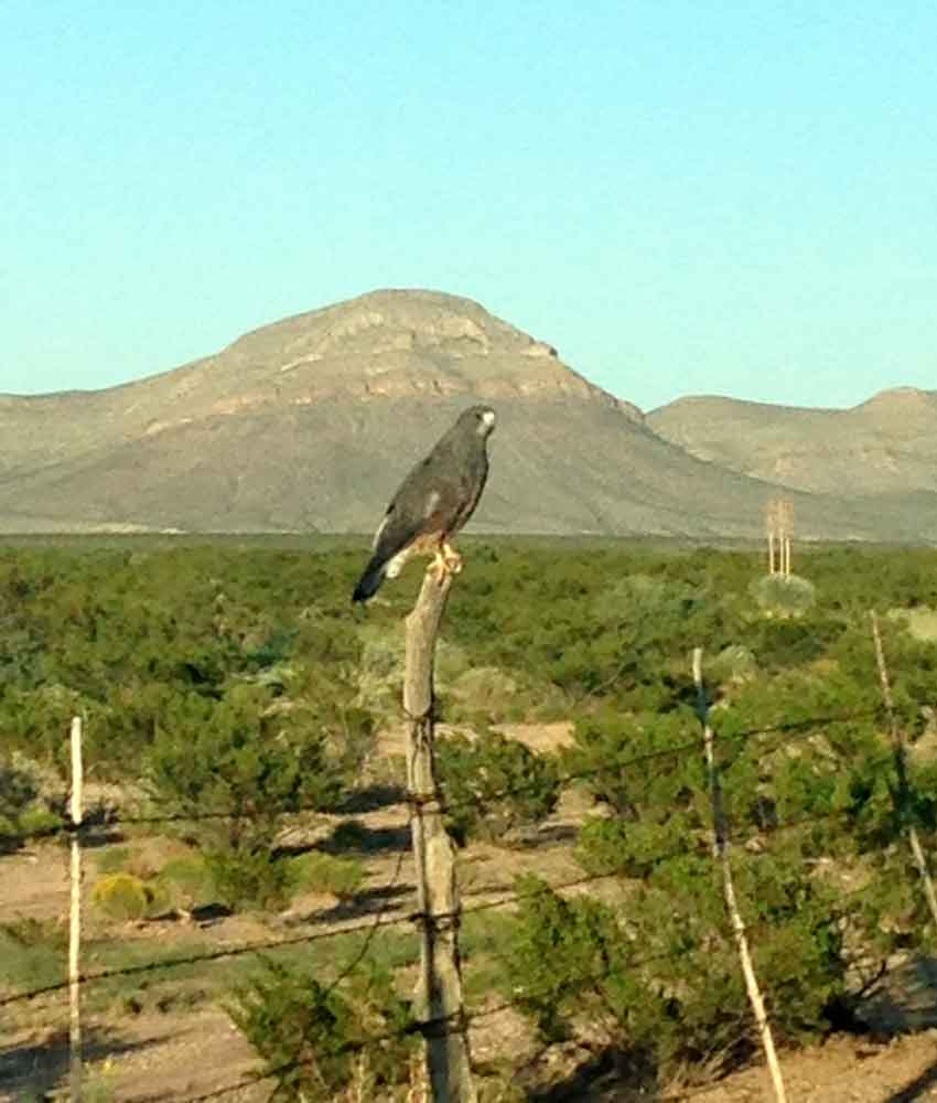 hawk on a fence post, Mud Mountain in the background