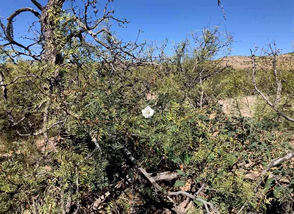 home for sale in New Mexico - datura plant in the wild